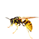 wasp, bee, hornet, yellow jacket, scorpion control